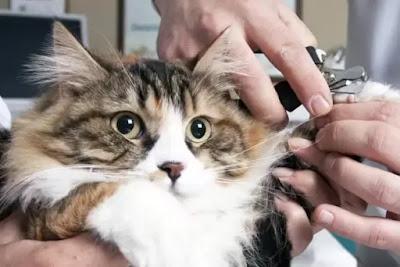 ilustrasi cara potong kuku kucing