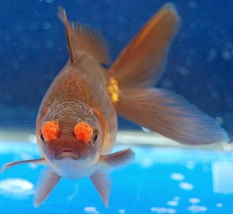 La nouvelle aquariophilie le poisson rouge carassius for Bac a poisson rouge
