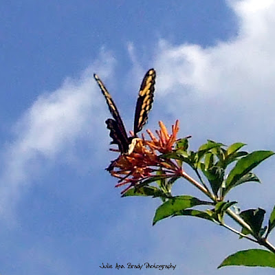 Anise Swallowtail Butterfly - Discovery Gardens