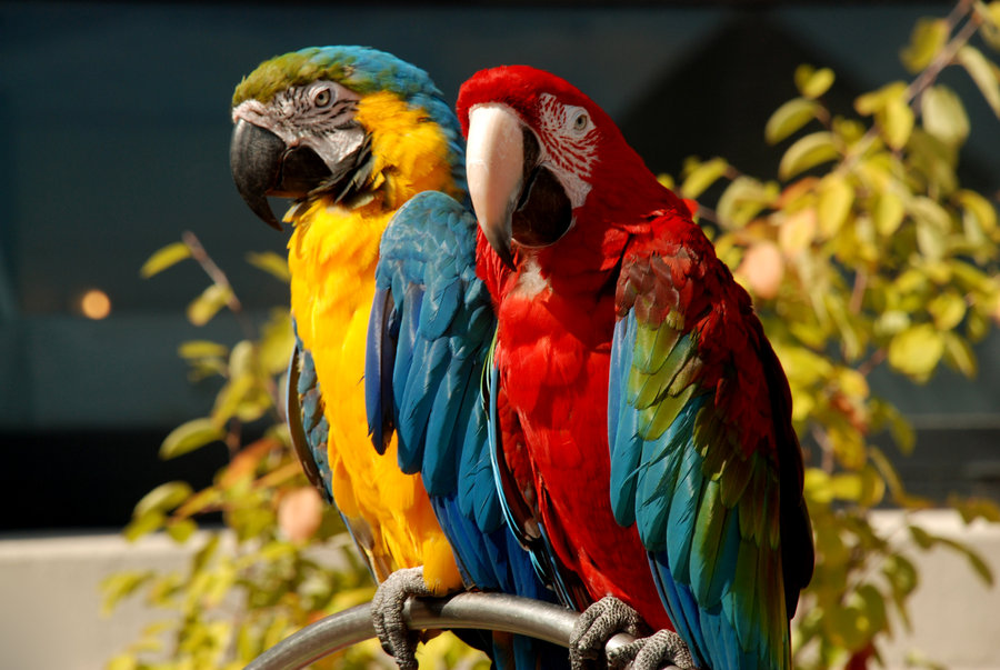 red rose parrot picture full color parrots pictures and 134738 jpg