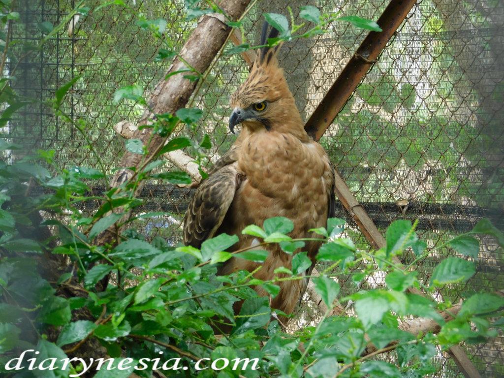 taman satwa taru jurug surakarta solo city, tourist attractions in solo, Javan Hawk-eagle in Satwa Taru Jurug, diarynesia