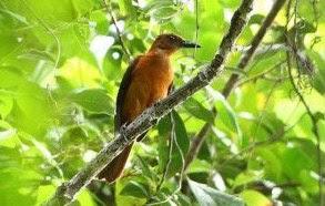 Mengenal Lebih Dekat Burung Cucak Rowo Papua Di Habitat Aslinya Alam Liar