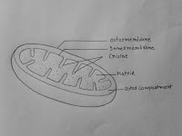 Labelled Diagram Of Mitochondria