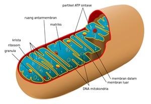 Mitokondria dan bagian-bagiannya seperti matriks dan granula
