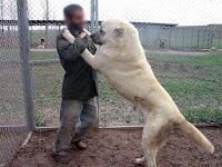 Ayağa kalkarak sahibinin boğazına sarılmış bir Sivas kangal köpeği