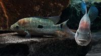 Umbee Cichlid Fish Pictures_Cichlasoma Umbriferum
