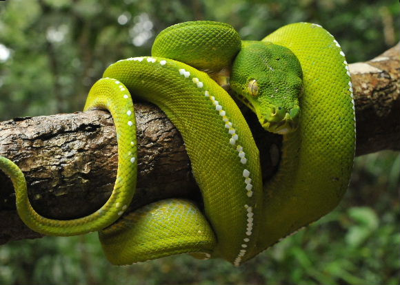 Snakes: Snakes In The Rainforest