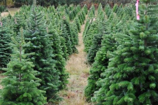 Από 29 Νοεμβρίου ξεκινά η διακίνηση χριστουγεννιάτικων δέντρων