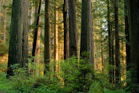 Trees in temperate forests, like these redwoods in Northern California, may adapt to climate change by releasing less carbon dioxide than previously predicted by scientists. (Credit: Getty Images) Click to Enlarge.