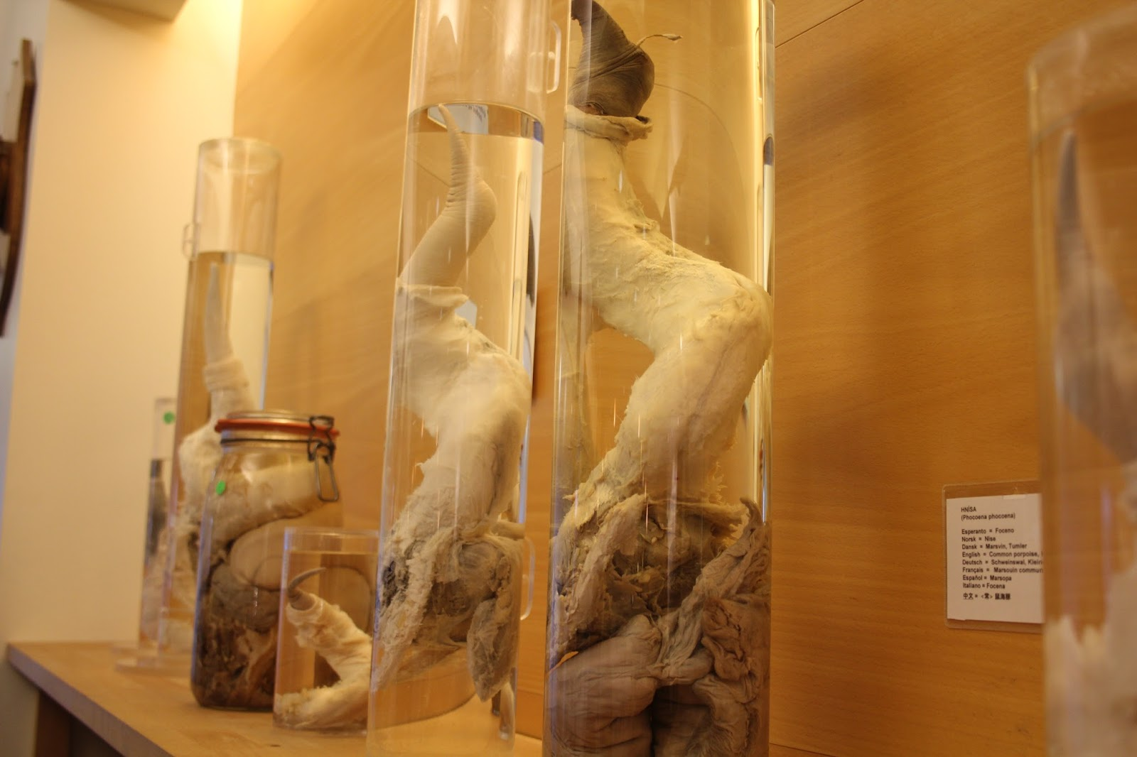 Jarred animal penises at the Icelandic Phallological Museum
