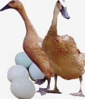 Perbandingan Keuntungan Peternakan Bebek Dan Ayam  MEMBANDINGKAN KEUNTUNGAN TERNAK BEBEK DAN AYAM