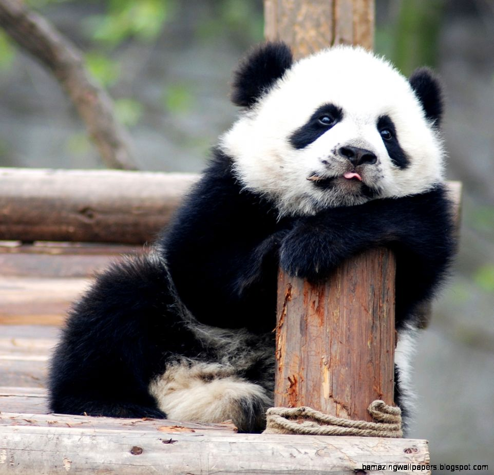 Cute Baby Panda Pictures | Amazing Wallpapers