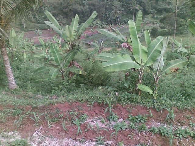 Foto(5725) dijual tanah / jual tanah murah di taman bunga nusantara-sukaresmi 3,1 ha jual tanah di sukaresmi jual tanah di taman bunga nusantara