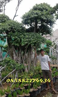 harga jual pohon beringin korea atau beringin dollar harga murah