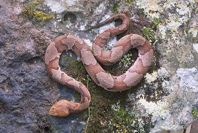 Northern copperhead Agkistrodon contortix