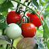5 Langkah Mudah Cara Menanam Tomat Di Rumah