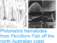 http://sciencythoughts.blogspot.co.uk/2015/04/philometrid-nematodes-from-perciform.html