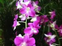 Tips dan cara menanam bunga anggrek yang sederhana dan mudah