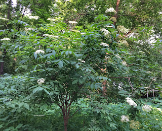 Sambucus, common elderberry in bloom