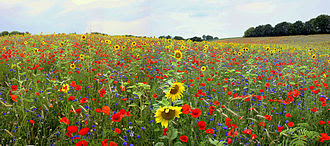 Flower, field
