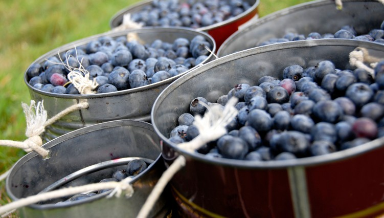 India soon to get a treat of Washington Blueberry | Earnest