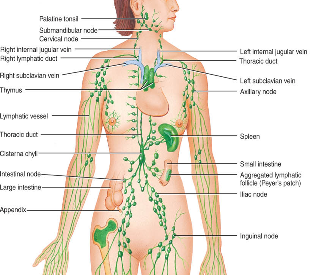 Lymphatic System Anatomy