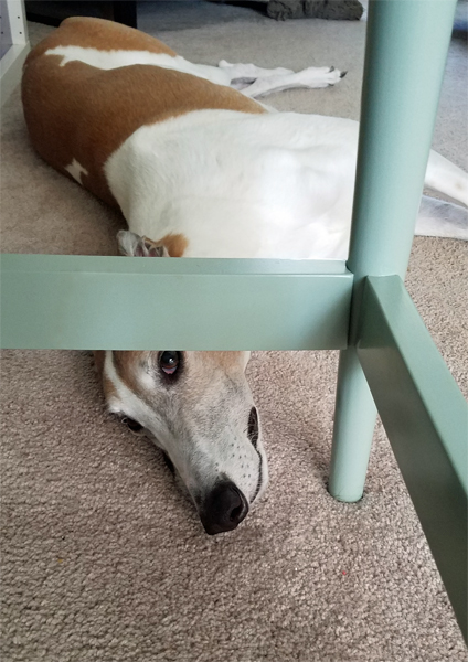 image of Dudley the Greyhound lying on the floor, peering up at me from under my desk