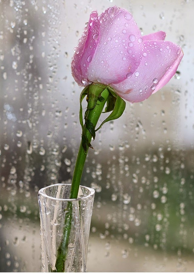beautiful pink roses in a glass vase
