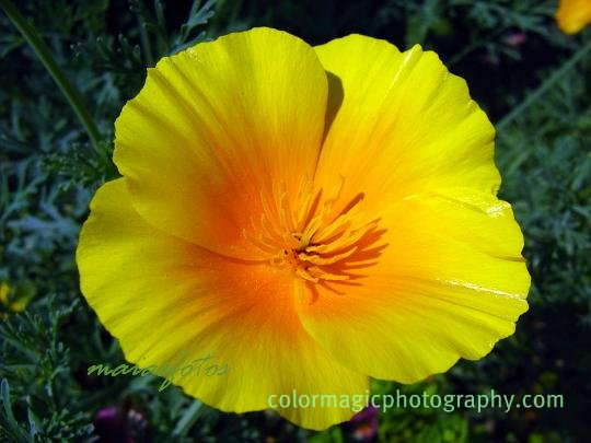 Golden poppy-macro photo-California poppy