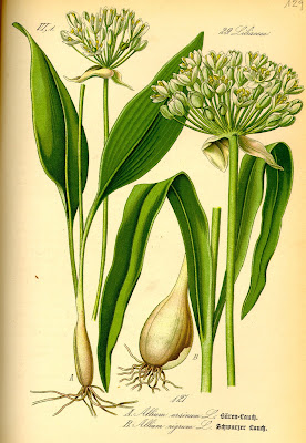 aglio orsino, allium ursinum, ajo oso, ilustración , food
