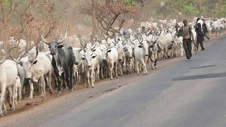 18 Passengers Narrowly Escape Death As 200 Cows Overrun Owo-Benin Expressway