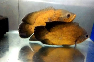 Gambar ikan oscar