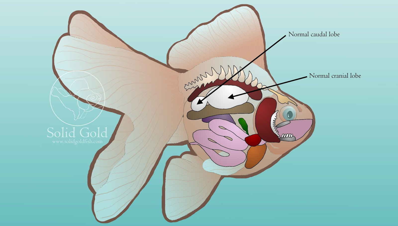 Ray And Skate Diagram Automotive Wiring Diagrams Uk Bladder Swim Fish Harness Maw Elsavadorla