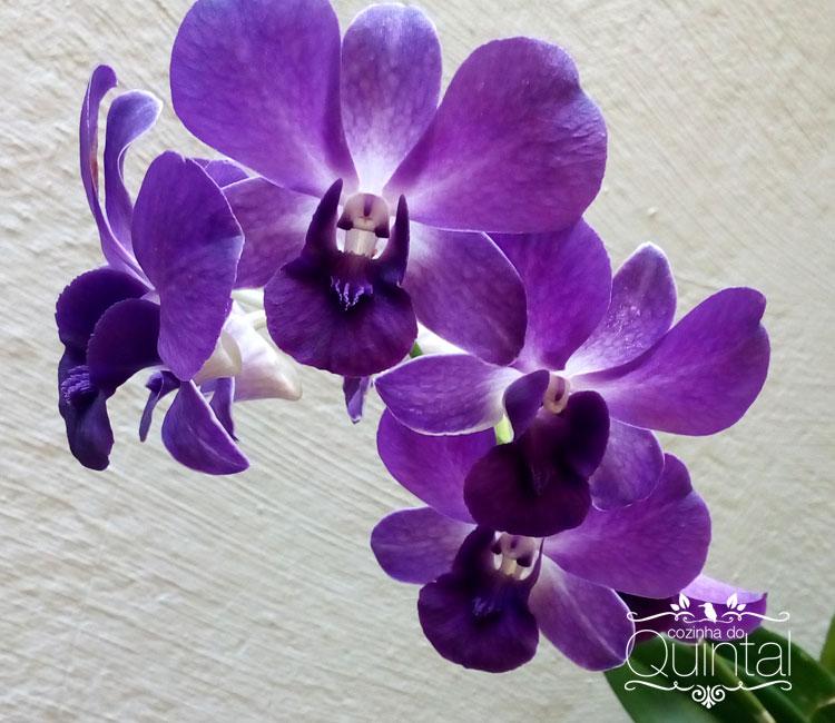 Orquídeas roxas que estão em vaso.