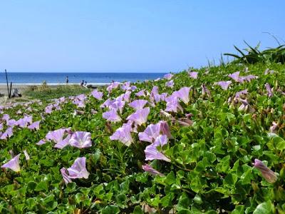由比ヶ浜のハマヒルガオ