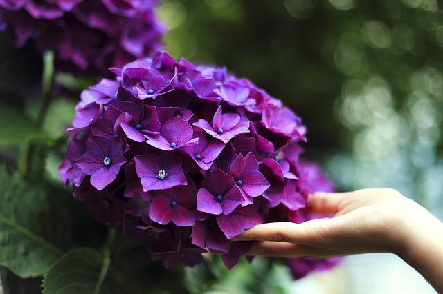 hoa cẩm tú cầu tím đẹp