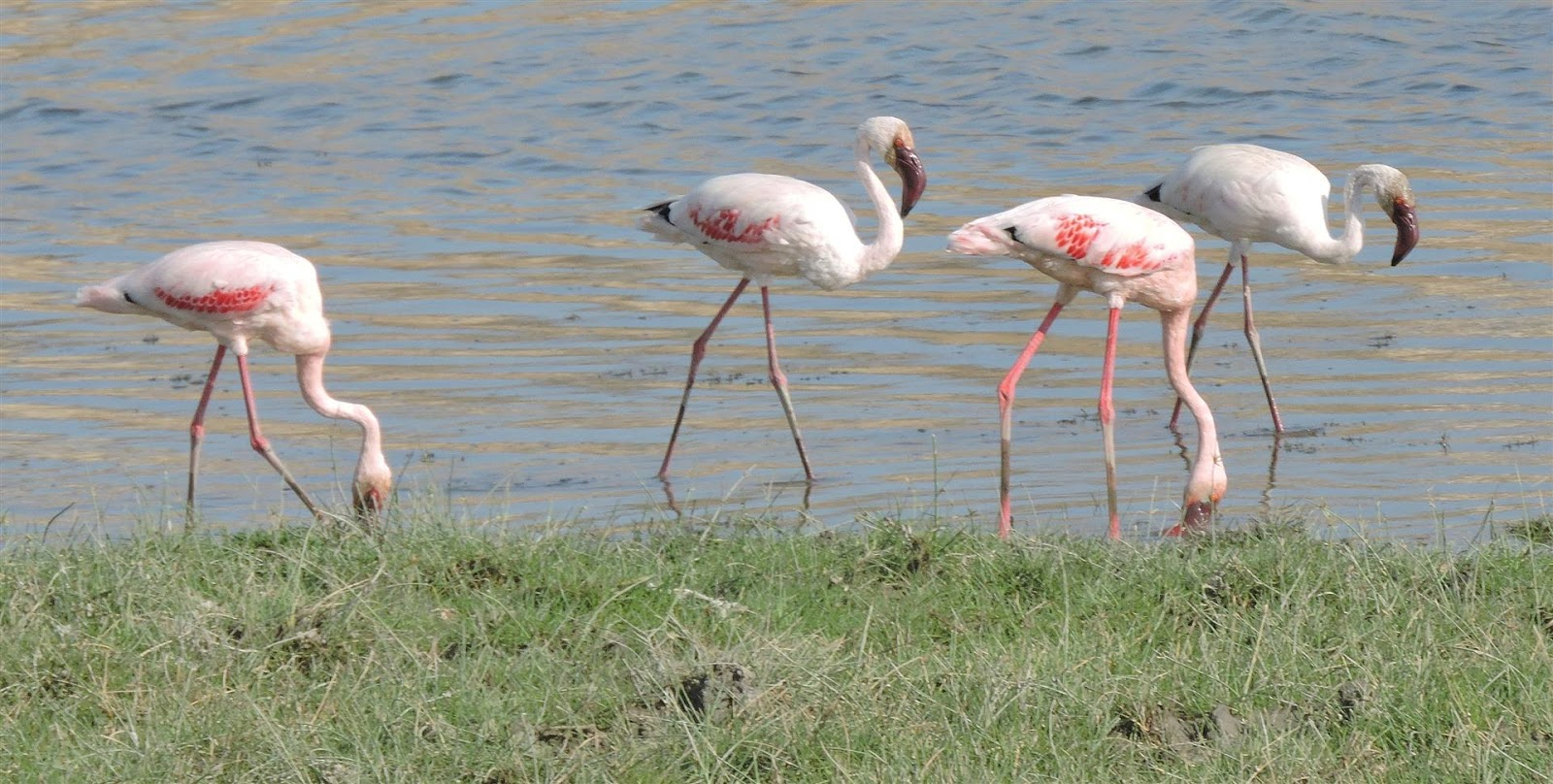 Lesser flamingo and more at Khawr Rori