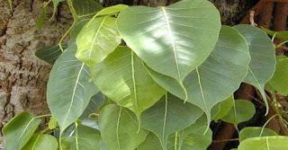 health Benefits of Peepal Tree in Hindi, pipal ke patte ke fayde