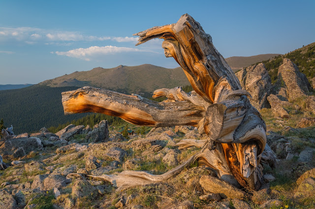 Bristlecone Pines on Mount Evans