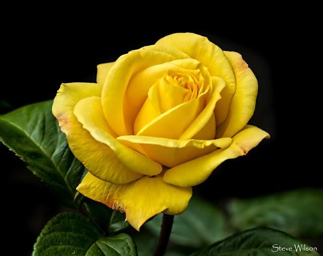 Hình ảnh đẹp hoa hồng vàng 5