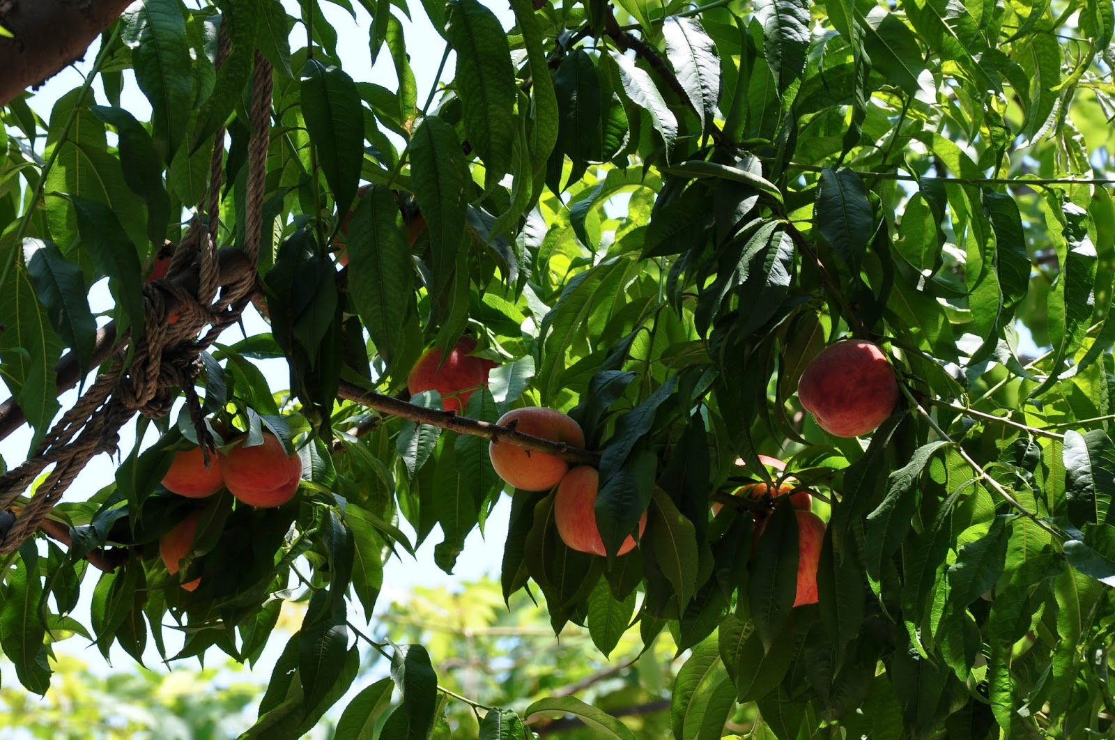 Peaches on branches