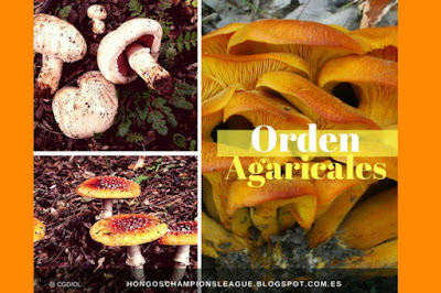 Orden Agaricales