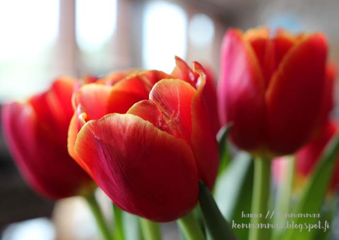 tulppaani punainen kimppu kevät