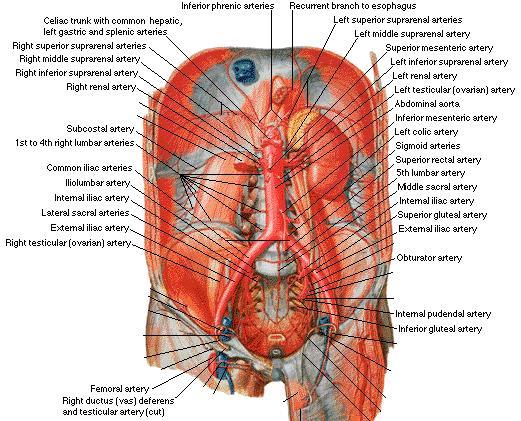 Abdominal Aortic Abdominal Aortic Vessels
