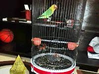 """""""Bukan Love bird Kusumo"""""""
