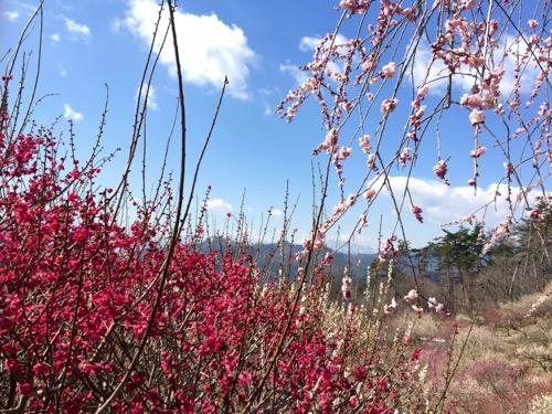 梅の香りが芳しい「梅百花園」