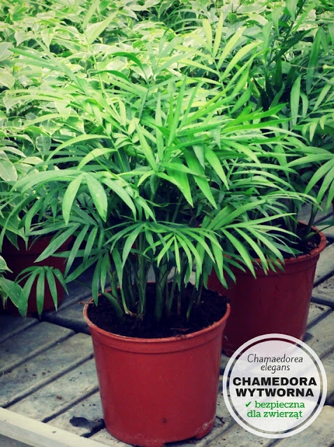 chamedora