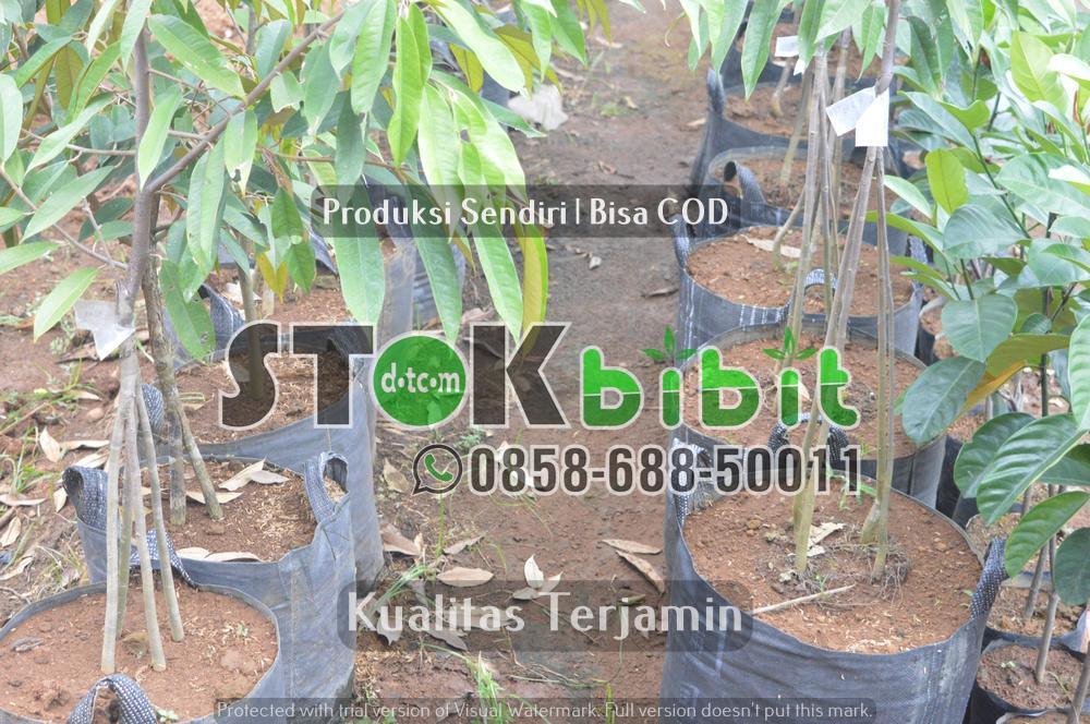 Bibit Sengon | Bibit Albasia Falcataria    Grosir     berkualitas