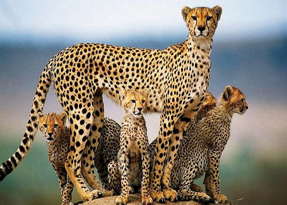 Cheetah HD Wallpapers ~ Animals World
