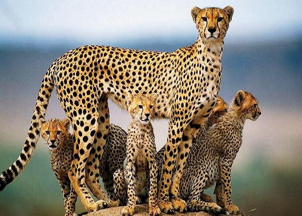 Cheetah HD Wallpapers ~ Animals World